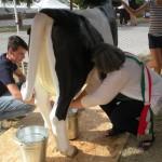 La mungitura della mucca Pomposina